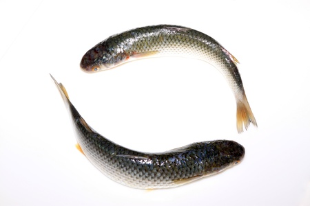fresh barracuda on a white background photo
