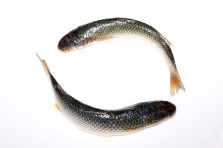 barracuda: fresh barracuda on a white background