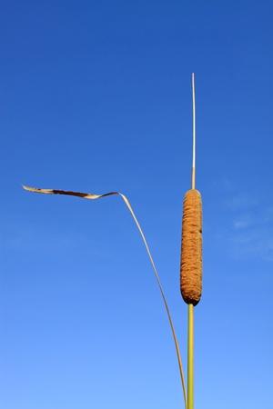 cattail: cattail seeds under the blue sky