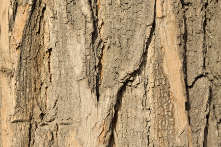 close up of pagoda tree bark Stock Photo - 8534081