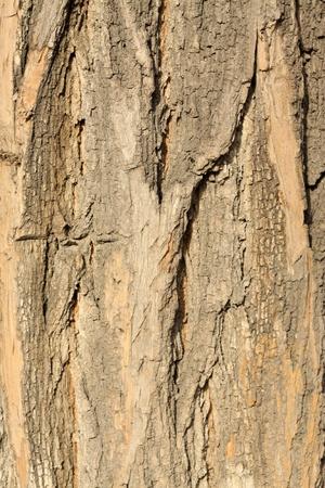 close up of pagoda tree bark   Stock Photo - 8534076