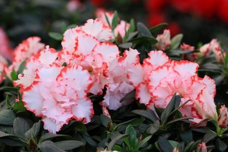 un coucou: gros plan de belles fleurs Cuckoo Banque d'images