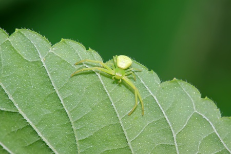popular science: a kind of insects named crab spider on the green leaf Stock Photo