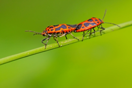relaciones sexuales: stinkbug clase insectos en la planta verde de apareamiento, cerca de fotograf�as, tomar fotos en estado salvaje natural.  Foto de archivo