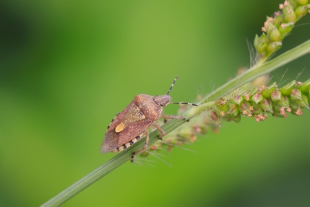dolycoris - a kind of stink bug, take photos in the wild natural state. photo