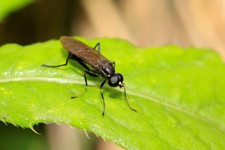 blackwater: a blackwater gadfly on a green leaf, in the natural wild state, Luannan County, Hebei Province, China.
