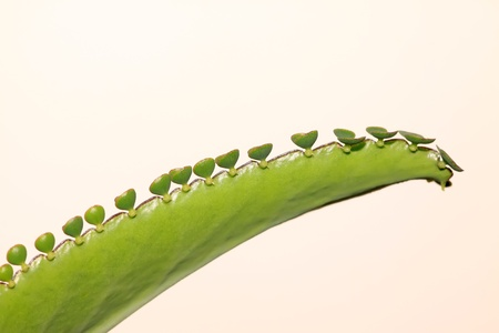 curvature: a special leaf, small plants grow in edges of the leaves, it can be used as medical