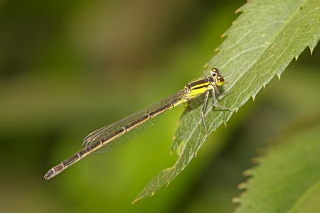beneficial insect: damsel-fly on the grass in the natural state, close up of pictures, take photos in the wild natural state, Luannan County, Hebei Province, China.