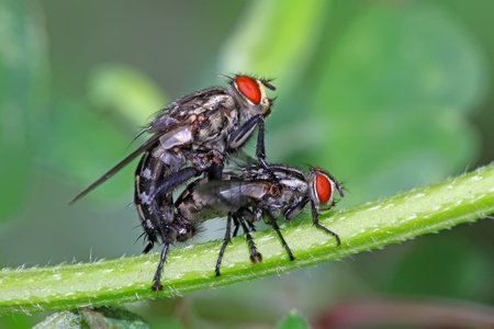 adult intercourse: a kind of insects named red-headed flies on a green leaf, in the natural wild state, Luannan County, Hebei Province, China. Stock Photo