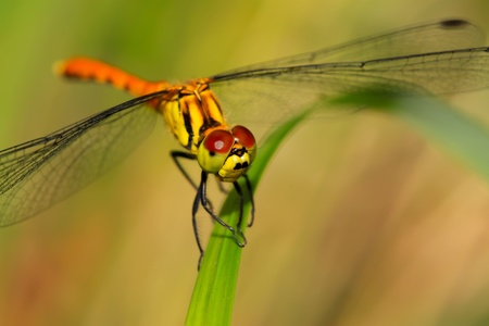 close up of yellow dragonfly on a green plant photo