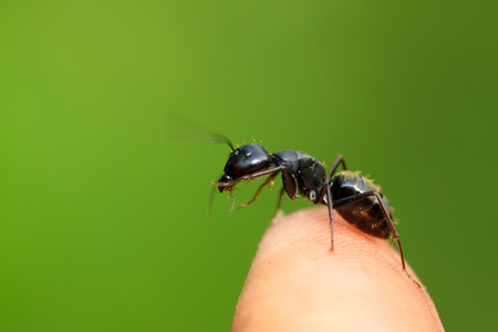 camponotus japonicus on a green leaf, take photos in the wild natural state, Luannan County, Hebei Province, China.