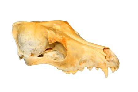 close up of dogs skull on a white background. photo