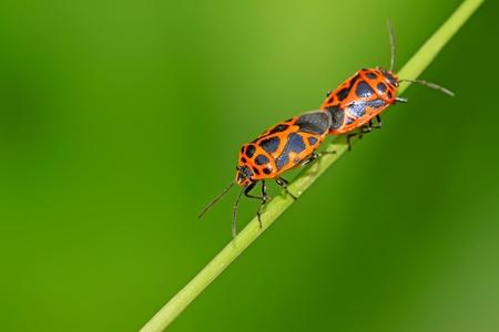 relaciones sexuales: apareamiento insectos de clase stinkbug en la planta verde, cerca de fotograf�as, tomar fotos en estado salvaje natural. Foto de archivo