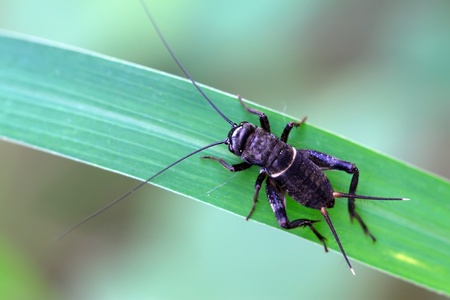 latent: black cricket nymphs on the grass, take photos in the natural wild state, Luannan County, Hebei Province, China.