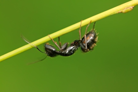 formicidae: camponotus japonicus on a green leaf, take photos in the wild natural state, Luannan County, Hebei Province, China.