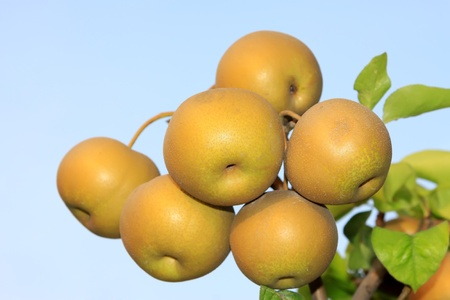 the fruitful: pears fruitful hung on the branches in the blue sky Stock Photo