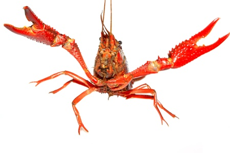 aquaculture: close up of crayfish which can be made into delicious dishes