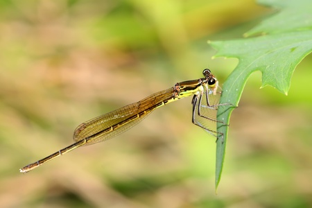 damsel-fly on the grass in the natural state, close up of pictures, take photos in the wild natural state, Luannan County, Hebei Province, China.  photo