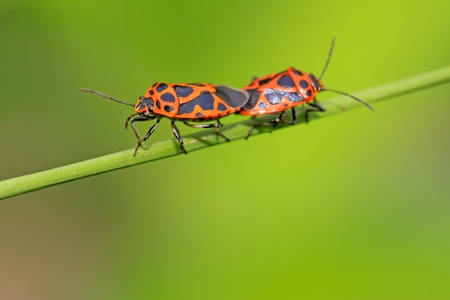 mating stinkbug class insects on the green plant, close up of pictures, take photos in the natural wild state.  photo