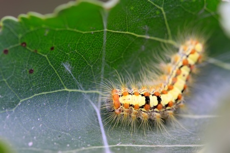 a caterpillar crawling on the plant stem, take photos in the natural wild state, Luannan County, Hebei Province, China.  photo