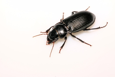 carabidae: a kind of insects named carabidae on a white background. Stock Photo