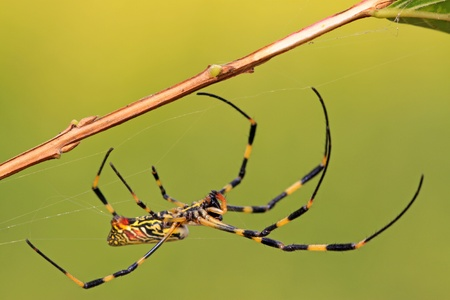 popular science: a spider upside down in the net, take photos in the wild natural state. Stock Photo