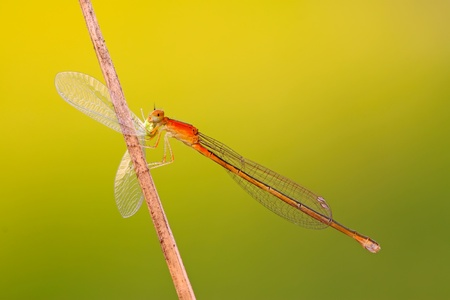 predator damselflies in the wild Stock Photo - 8810670