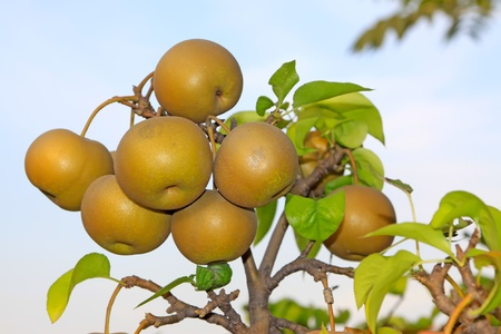 fruitful: pears fruitful hung on the branches in the blue sky Stock Photo
