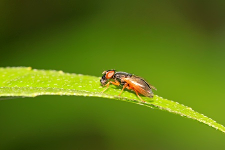 popular science: a kind of muscidae insects on a green leaf, in the natural wild state, Luannan County, Hebei Province, China.