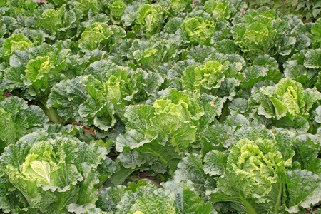 vegetarianism: close up of chinese cabbages, a kind of ordinary vegetables
