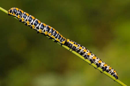 larvae: close up of butterfly larvae on a green plant, taken photos in the natural wild state.