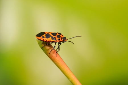 a stink bug on the green leaf. photo