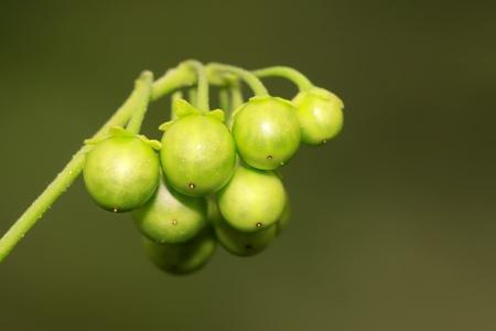 a kind of plant named Solanum nigrum  photo