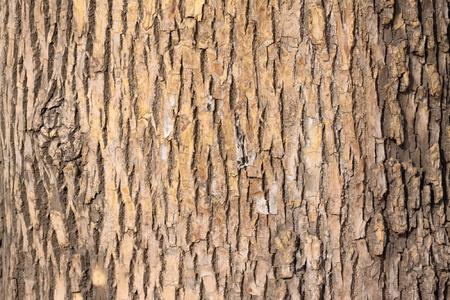 closeup of pagoda tree bark Stock Photo - 9179151