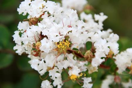 closeup of crape myrtle flowers photo