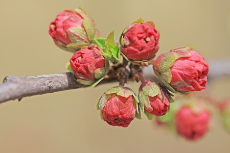 early spring: close up of hitom flower bud, growing in early spring, gives the impression of a thriving.  Stock Photo