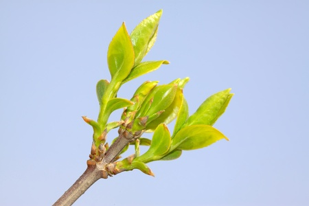 forsythia: close up of forsythia bud, growing in early spring, gives the impression of a thriving.