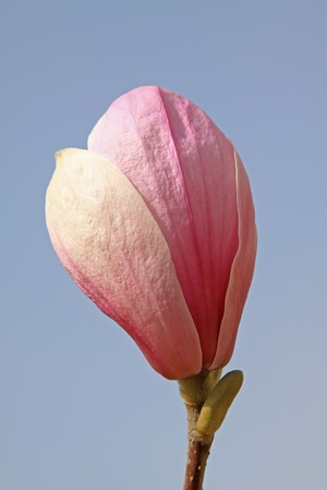 is thriving: close up of magnolia flower, growing in early spring, gives the impression of a thriving. Stock Photo