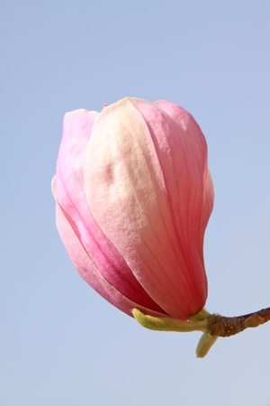 thriving: close up of magnolia flower, growing in early spring, gives the impression of a thriving. Stock Photo