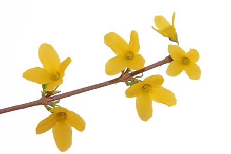 forsythia: close up of forsythia flower, growing in early spring, gives the impression of a thriving.
