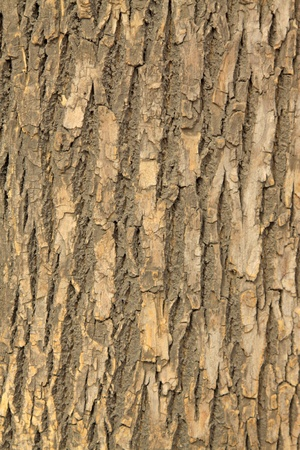 closeup of scholartree bark  Stock Photo - 9309611