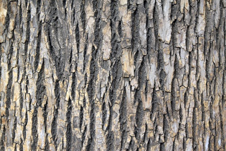 closeup of scholartree bark  Stock Photo - 9309616