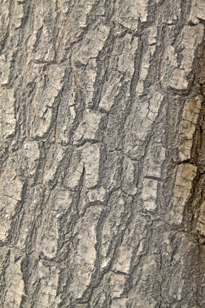 closeup of scholartree bark  Stock Photo - 9309617