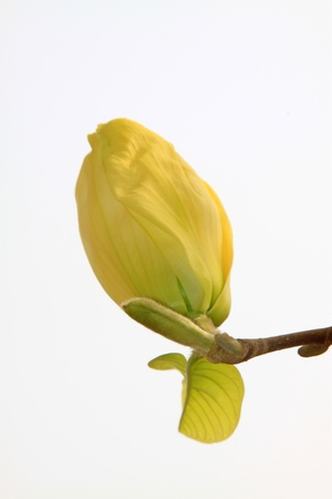 early spring: close up of magnolia flower, growing in early spring, gives the impression of a thriving. Stock Photo