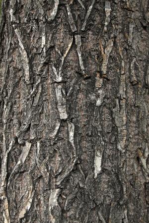 closeup of scholartree bark Stock Photo - 9911035