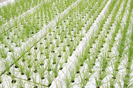 soilless cultivation lettuce in a greenhouse, north china Stock Photo - 10407837