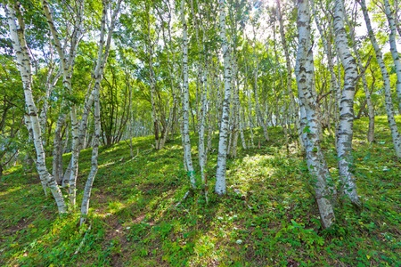 closeup of white birch forest landscape in chengde SaiHanBa, in China