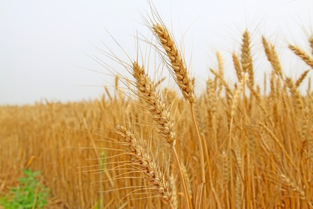 closeup of ripe wheat in china
