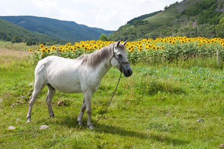 closeup of white horse in green grassland in chengde SaiHanBa, in China photo