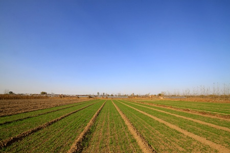 north china: wheat field under the blue sky, natural landscape in rural, North China. Stock Photo